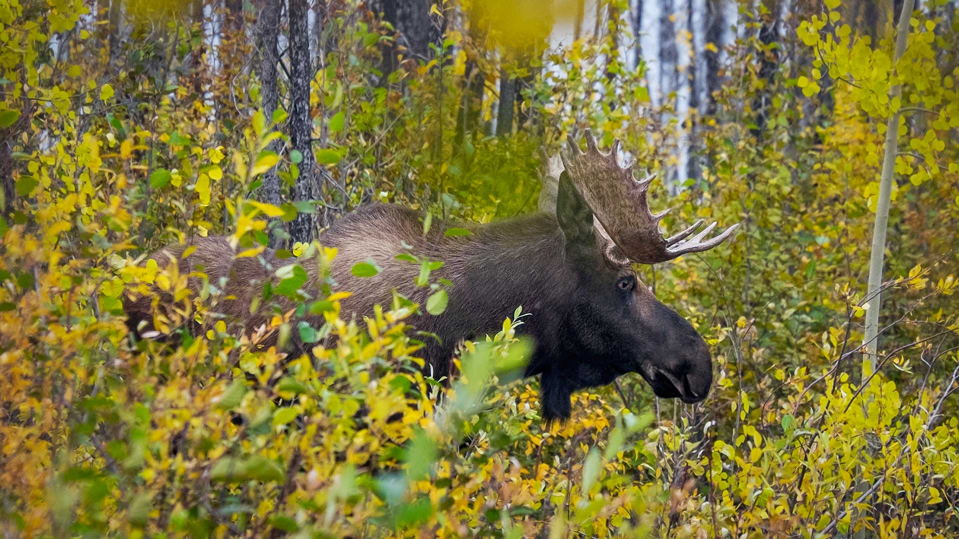 A wild Moose in the bush near the highway, Canada