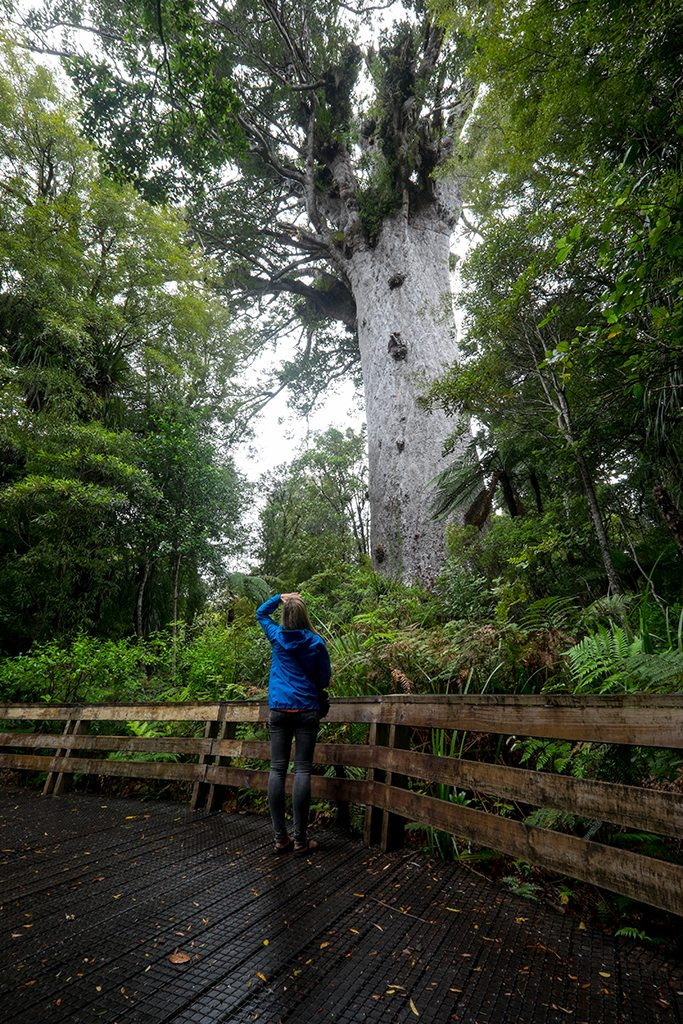 Mighty Tane Mahuta, the largest known of the Kauri trees